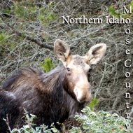 Moose in Idaho