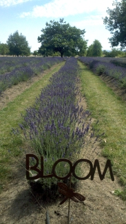 The awesome Lavender fields!